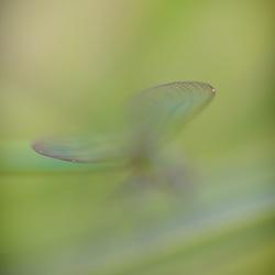Vleugeltjes zo teer