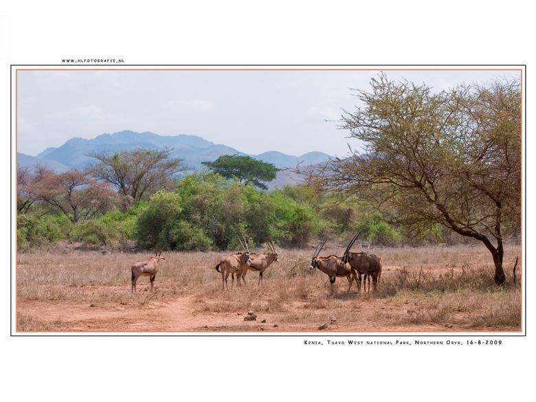Northern Oryx Gazella, Kenia - Op 200 km van de kust ligt Tsavo. Tsavo is niet alleen het grootste natuurreservaat van Kenia maar ook het oudste; het