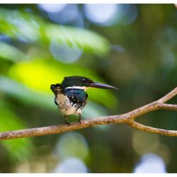 Groene Ijsvogel @ Costa Rica
