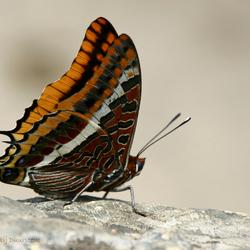 Aardbeiboomvlinder (Charaxes jasius)