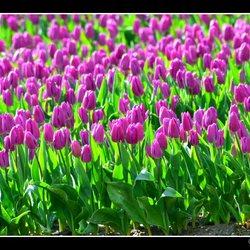 Tulpenroute - Tulpentocht -12.jpg