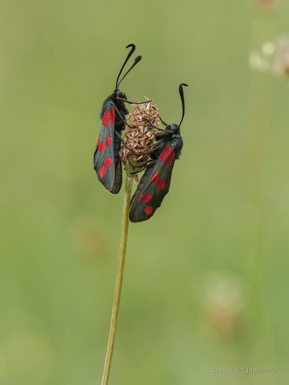 Just the two of us - Bloeddropjes oftewel st. Jan&#039;s vlinders.<br /> <br /> Waren zeer talrijk dit jaar op braakliggende veldjes in mijn woonpla