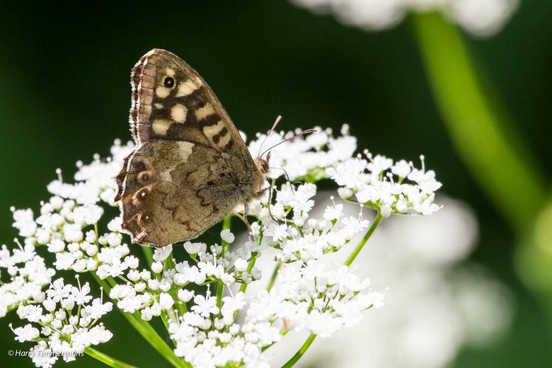 Nog een mooi vlindertje. - Ik ben nog niet geheel thuis in de vlinderdeterminatie vandaar dat ik het beestje nog maar geen naam heb gegeven.<br /> Hi