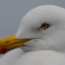 Vogelmodel