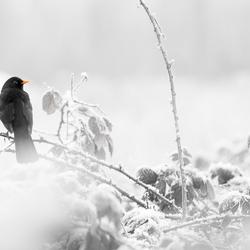 Sneeuwvogel