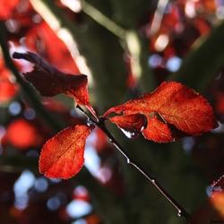rood blaadje