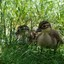 Jonge Mandarijnen eendjes