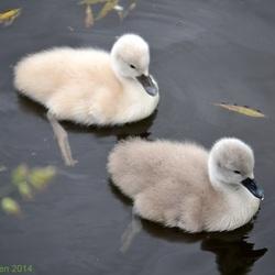 jonge zwaantjes..