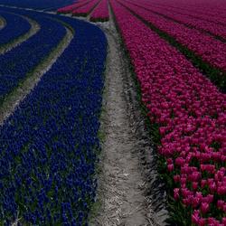 Druifjes vs Tulpen