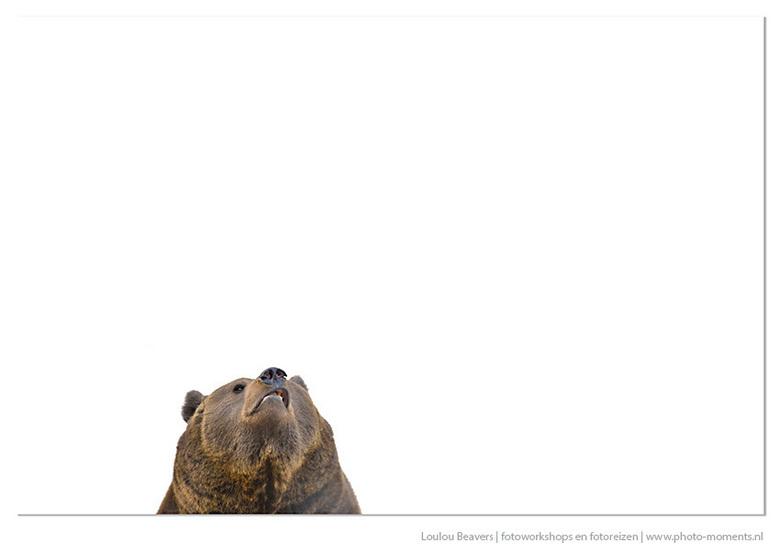 What's up..... - Bruine beer in het Beierse woud. In dit prachtige wildpark leven in ruime afgezette gebieden dieren die hier van oorsprong voorkwamen