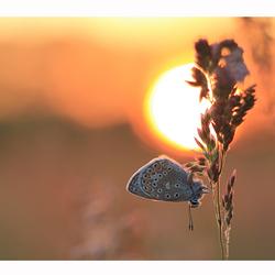 The Sundown Butterfly 2