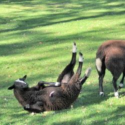 Free falling sheep