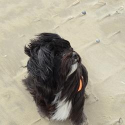 strandhond