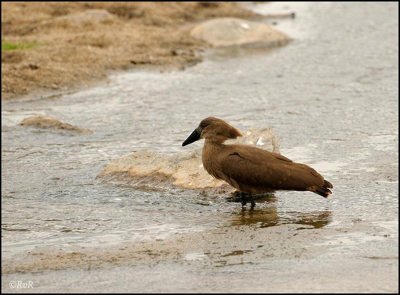 Hamerkop - Waarom deze vogel de naam Hamerkop heeft, wordt hier wel duidelijk. De typische hamervormige kop van de vogel wordt gevormd door de veren a