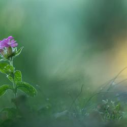 roze bloempje