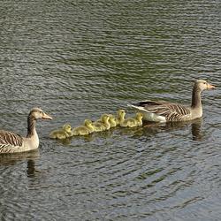 Ganzenfamilie