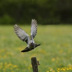 De duif in de vlucht 1