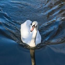 Zwaan in Park De Nieuweling Duiven