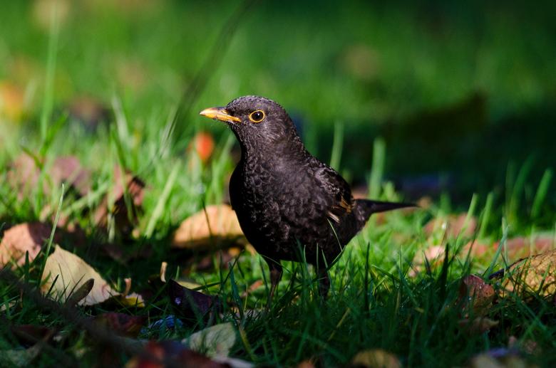 Merel - De merel is tegenwoordig de meest algemene broedvogel van ons land. Omdat de merel zoveel in tuinen voorkomt, kent vrijwel iedereen deze zangv