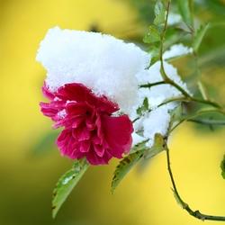 sneeuwroos