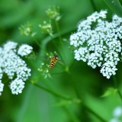 van bloem naar bloem, krijgt er zelfs witte voetjes van