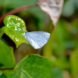 Blauw vlindertje