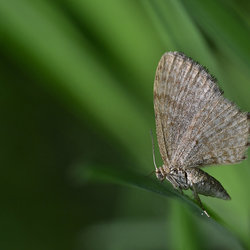 Apocheima Pilosaria (Perentak)