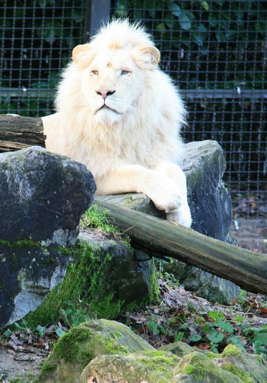 witte leeuw.jpg - witte leeuw.jpg<br /> Het licht was mooi, eind van de winterdag.  De leeuwen wilden graag eten, daarom verliet deze leeuw zijn schu