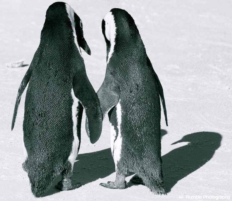 Pinguins in love - Zuid Afrika