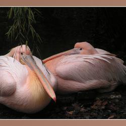 Roze Vogels