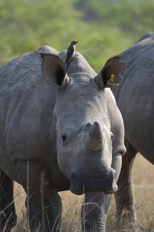 Rhino @ Botswana - Neushoorn met Ossepikker tijdens wandelsafari in Botswana