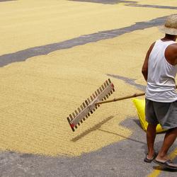 Harken van rijst