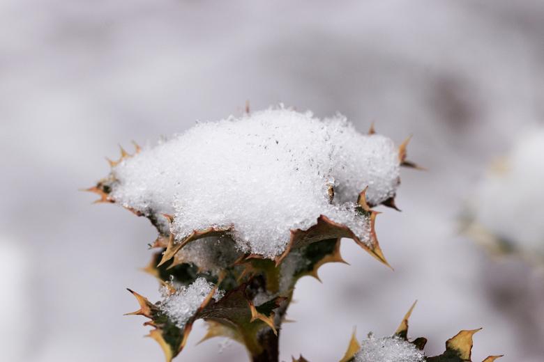 Hulst met een mutsje op - Deze foto heb ik afgelopen 17 januari 2021 gemaakt toen er een laagje sneeuw lag. Op het hulsttakje lag een laagje sneeuw.