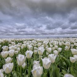 bloembollenvelden