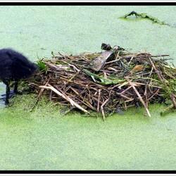 Waterhoen jong op het nest