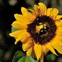 Zonnebloem in een zonnebloem...