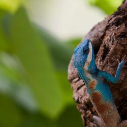 Blauwkop Agame