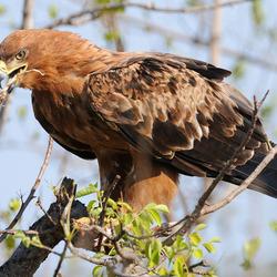 Tawne Eagle