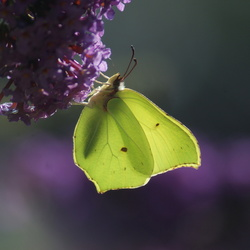 citroentje op vlinderstruik