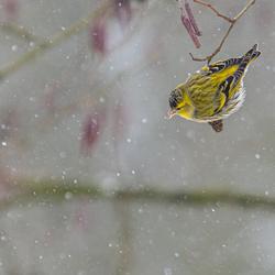 Sijsje in de sneeuw