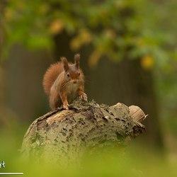 de rosse van het bos (2)