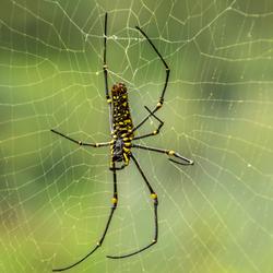 Indonesian Spider