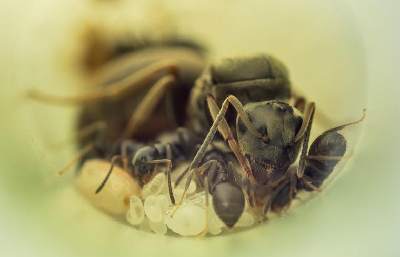 Life of Ants - Halverwege juli heb ik een mierenkoningin gevangen en nu zijn er eindelijk de eerste werksters!