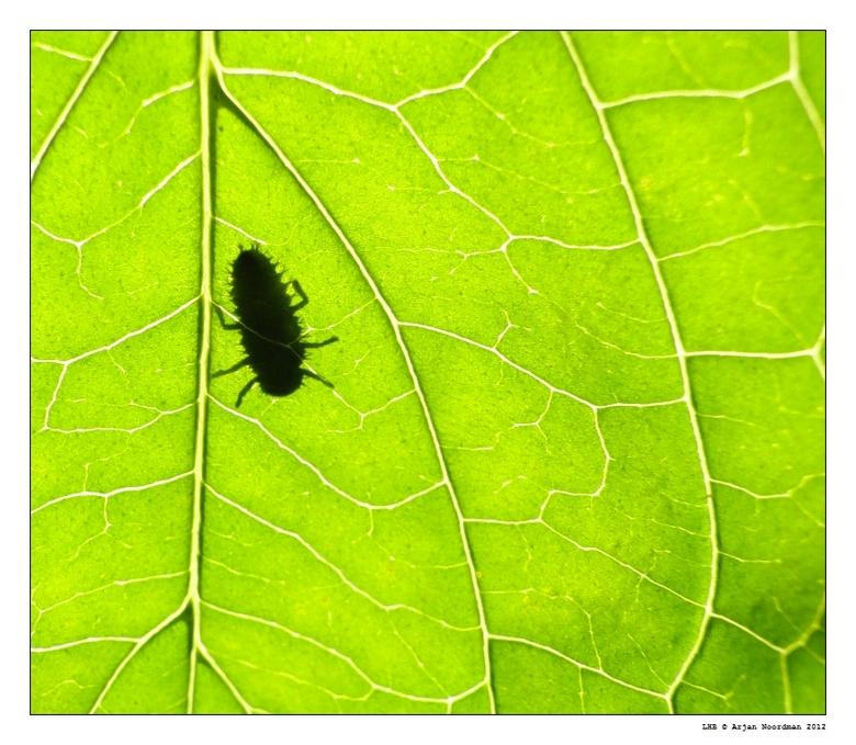 Silhouet Nimf LHB - Het silhouet van een nimf van een lieveheersbeestje op een blad.