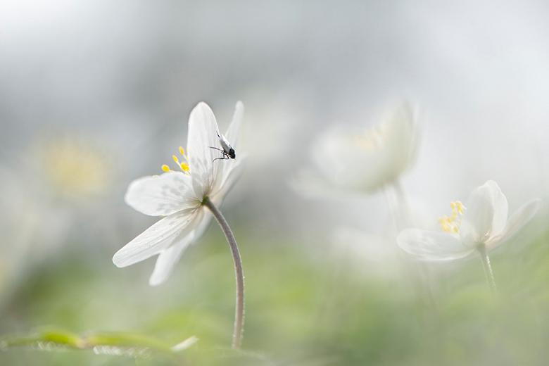 spring - bosanemoontje