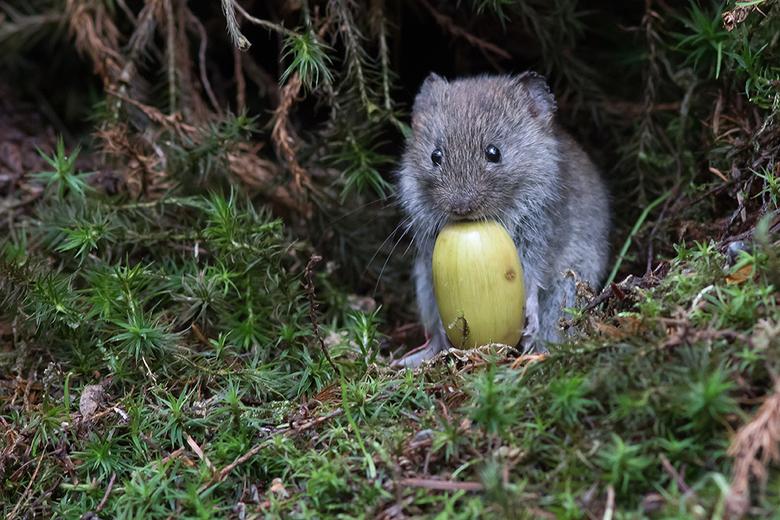 Little cute thing! - Deze muis probeerde de eikel mee te krijgen, wat hem enige moeite kostte, maar uiteindelijk toch gelukt is. Was een pracht gezich