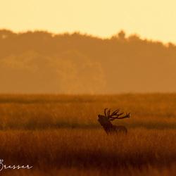 Burlend hert in het gouden uurtje op de Veluwe