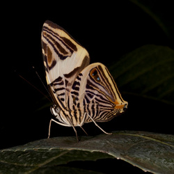 Vlinder artis 4