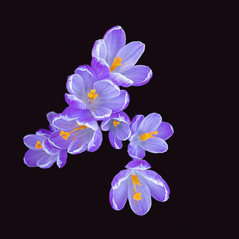 Bosje krokussen... - Deze opname maakte ik vorige week toen het wel lente leek.<br /> <br /> Groet Piebe