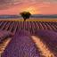 Lavendelveld Provence